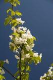 Flowering Tree in Spring Stock Images