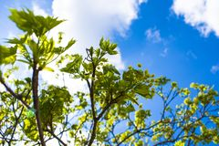 Flowering tree in spring royalty free stock image
