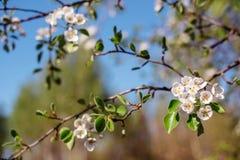 Flowering tree in the spring garden. Beautiful flowering tree in the spring garden Royalty Free Stock Photo