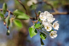Flowering tree in the spring garden. Beautiful flowering tree in the spring garden Stock Image