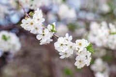 Flowering tree in the spring garden. Beautiful flowering tree in the spring garden Royalty Free Stock Image
