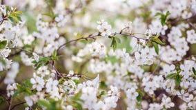 Flowering tree in the spring garden. Beautiful flowering tree in the spring garden Stock Photos