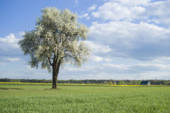 Flowering tree. On spring time among fields and meadows, countryside royalty free stock photo