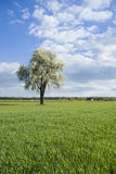 Flowering tree. On spring time among fields and meadows, countryside Royalty Free Stock Photography