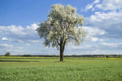 Flowering tree. On spring time among fields and meadows, countryside Royalty Free Stock Photos
