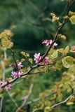 Flowering tree in spring. Tree branch with flowers and leaves on a sunny day Royalty Free Stock Photography