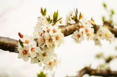 Flowering tree in the spring Royalty Free Stock Images