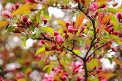 Flowering tree. Springtime. Blooming tree stock photos