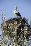 Flowering tree and stork Royalty Free Stock Photography