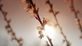 Flowering tree in the sun. Flowering apricot tree in the sun stock footage