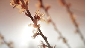 Flowering tree in the sun. Flowering apricot tree in the sun stock video