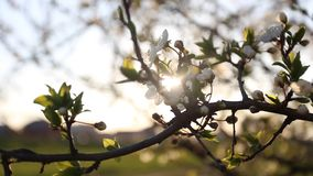 Flowering tree with sun flare. Flowering tree swaying in the wind with sun flare stock video