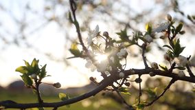 Flowering tree with sun flare. Flowering tree swaying in the wind with sun flare stock video footage