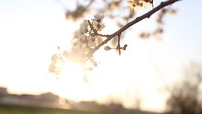 Flowering tree with sun flare. Flowering tree swaying in the wind with sun flare stock footage