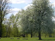 Flowering tree, sheep graze on green field. Flowering tree in the sunlight. Blossoming of a pear against a blue sky with clouds. sheep graze on green field Stock Photos
