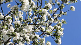 Flowering tree in a sunny garden. Spring garden, blooming apple tree. Large white flowers on an apple-tree against the bright blue sky stock video footage