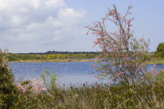 Flowering tree in the swamp. Flowering tree and wildflowers along a pond Stock Photo