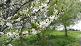 Tree swaying in the wind. Flowering tree swaying in the wind stock video