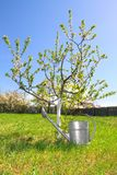 Flowering tree and watering can Stock Images