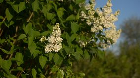 Flowering tree of white lilac in the garden in the spring sunshine, blooming spring garden on a background of blue sky. stock footage