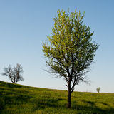 Flowering tree wild pear Stock Image