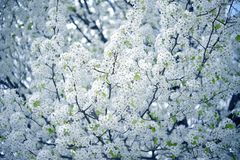 Flowering Tree Wild Plum stock photo