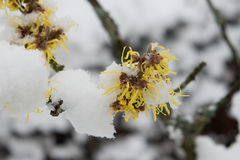 Flowering tree in winter Stock Photos