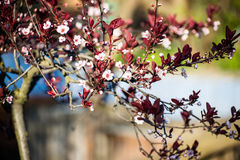 Flowering tree. Flowering young tree small white flowers, may 2014, flowers, tree Stock Images