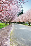 Flowering trees. Warm breezes blow petals from the flowering trees royalty free stock photos