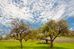 Flowering Trees Royalty Free Stock Images