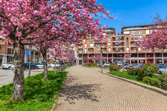 Flowering trees in Alba, Italy. Stock Images