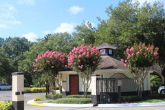 FLOWERING TREES. These beautiful trees are located by the entrance of apartment complex in Plant City Royalty Free Stock Photos