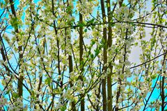 Flowering trees in the beautiful springtime Royalty Free Stock Photos