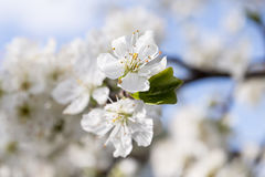 Flowering trees Stock Photos