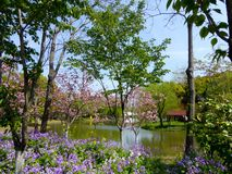 Flowering trees at century park. A lake surrounded by flowering trees and a field of purple flowers at century park Shanghai China Royalty Free Stock Images