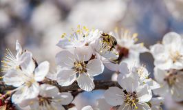 Free Flowering Trees In The Spring Against The Background Of The Sky And Greenery And The Bees Pollinate Them Royalty Free Stock Photo - 114262985