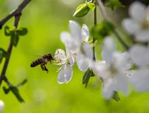 Free Flowering Trees In The Spring Against The Background Of The Sky And Greenery And The Bees Pollinate Them Royalty Free Stock Photography - 114263037