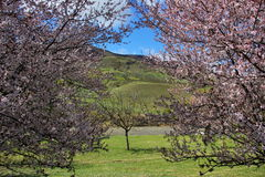 The flowering trees and mountain views. Two blooming pink tree flowers at the edges, through them offer views of mountains, hills, with green grass, flowing Royalty Free Stock Images