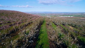 Flowering trees on an orchard in Idaho spring time. Rows of trees on an orchard farm in the spring time stock video footage