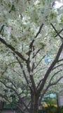 Flowering trees royalty free stock image