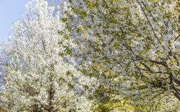 Flowering of trees in the parks of Milan.Italy. Nature Royalty Free Stock Image
