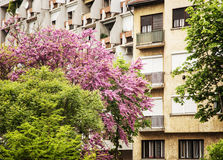 Flowering trees and residential building in Gyor, Hungary Royalty Free Stock Photo