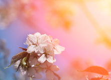 Flowering trees Sakura Royalty Free Stock Photography