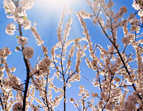 Flowering trees in spring, on background the blue sky Stock Image
