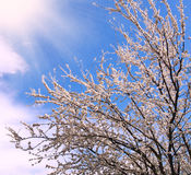 Flowering trees in spring, on background the blue sky Royalty Free Stock Image