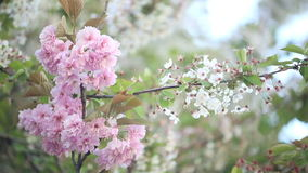 Flowering trees in spring. Spring cherry blossoms - flowering trees stock video