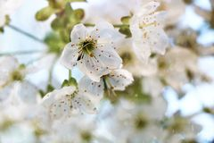 Flowering trees in spring on a light background. Beautiful garden and good harvest in summer stock images