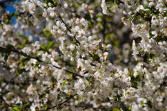 Blossoming cherry blossoms. Flowering trees in the spring is wonderful stock image
