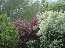 Flowering trees in spring Stock Photography