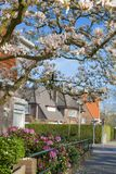 Flowering trees on the street of Europe. Beautiful spring. Blue sky. Travels. The Netherlands.  Stock Image